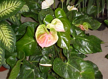Anthurium francesco lepore - Arbusti acidofili ...